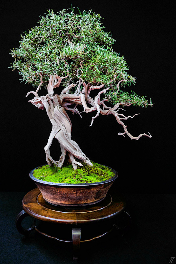 bonsai-rosmarinus